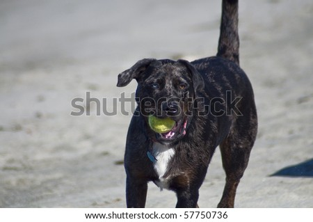 Cute Lab mix with different color eyes running along the beach shore with a tennis ball on a beautiful sunny day.