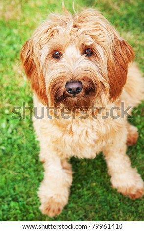 Cute Labradoodle Dog Sitting on Green Grass - stock photo