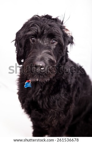 Cute Labradoodle puppy in studio - stock photo