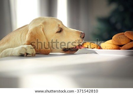 Cute Labrador dog eating tasty cookies on kitchen table, closeup - stock photo