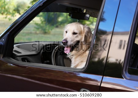 Cute Labrador dog in car