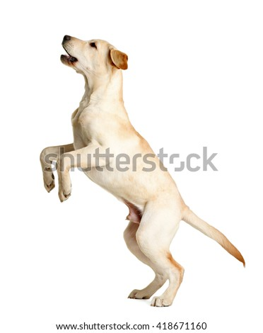 Cute Labrador dog isolated on white - stock photo