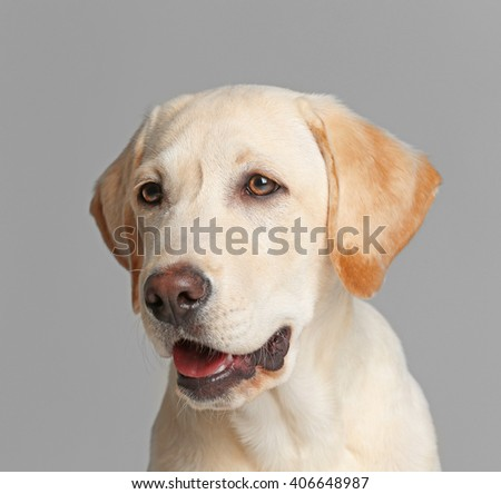 Cute Labrador dog on gray background