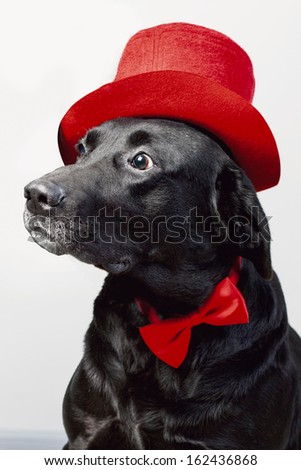 cute labrador in top hat and bow tie - stock photo
