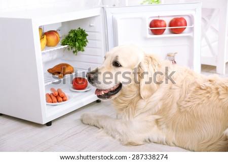 Cute Labrador near fridge in kitchen - stock photo