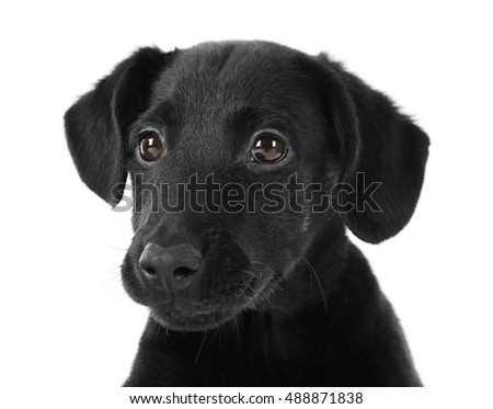 Cute Labrador puppy, isolated on white