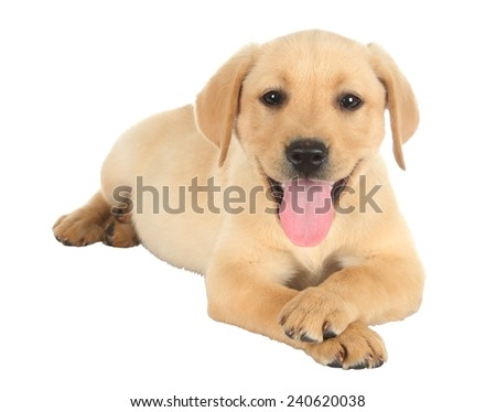 Cute labrador puppy lying down with it's legs crossed - stock photo