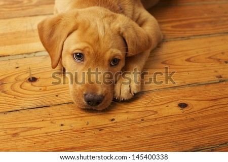 Cute Labrador Puppy Lying on Wood Floor - stock photo