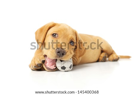Cute Labrador Puppy Playing with a Toy on White Backdrop