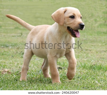 Cute labrador puppy running on the green grass