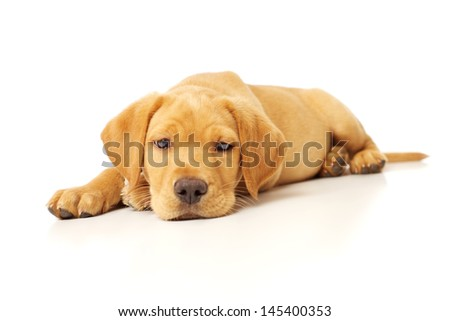 Cute Labrador Puppy Sleepily Resting on White Background