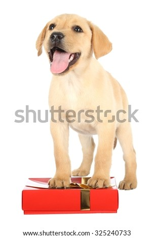 Cute Labrador Puppy with a Gift in a Red Box