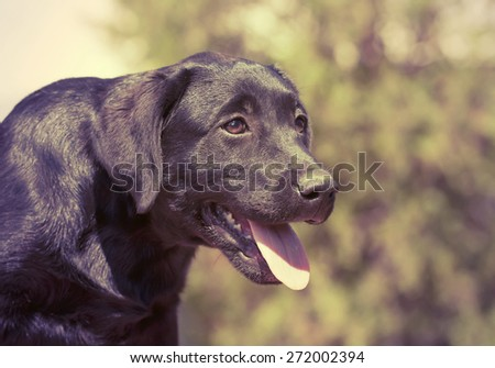 Cute Labrador Retriever puppy in vintage filter - stock photo