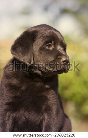 Cute Labrador Retriever puppy looking - stock photo