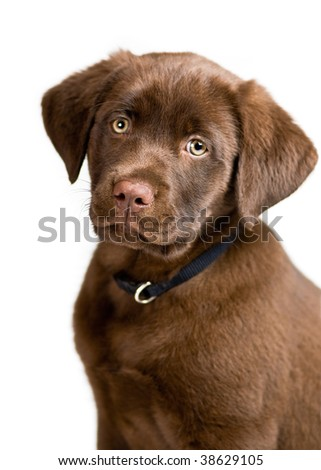 Cute Labrador Retriever puppy posing, isolated background - stock photo