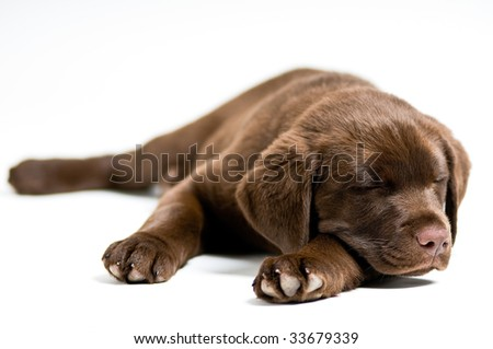 Cute Labrador Retriever puppy sleeping, isolated background - stock photo