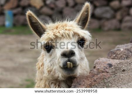 Cute lama needs a dentist, Chile - stock photo