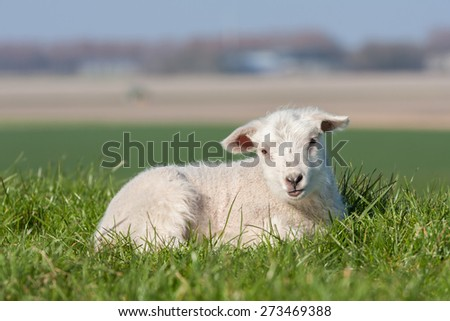 Cute lamb lying in the grass, The Netherlands - stock photo