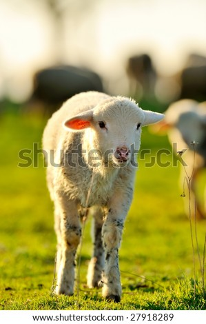 cute lamb on field in spring