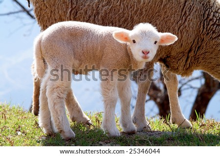 cute Lamb with the mother - stock photo