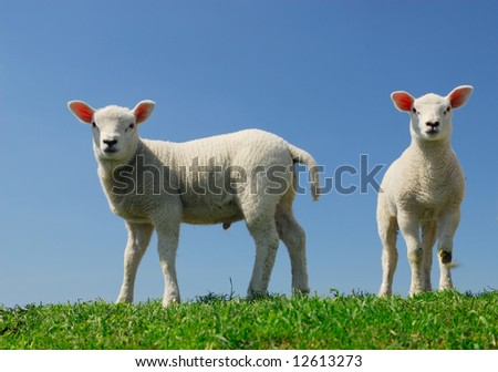 cute lambs in spring looking at the camera - stock photo