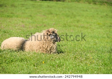 cute lambs sleep down in the meadow after a good meal - stock photo