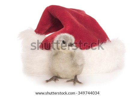 Cute lavender Ameraucana chick with Christmas Santa hat isolated on white