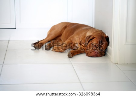 Cute lazy dog of Dogue De Bordeaux French Mastiff sleeping on the floor in the kitchen - stock photo