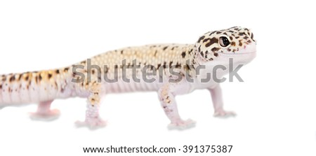 Cute Leopard Gecko isolated on white