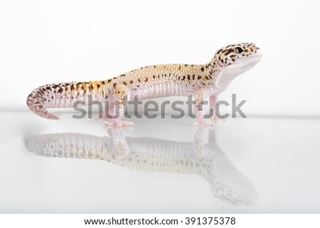 Cute Leopard Gecko shot on white with a reflection