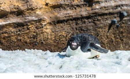 Cute little adelie penguin with open beak in Antarctica. - stock photo