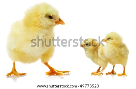 Cute little baby chicken against white background - stock photo