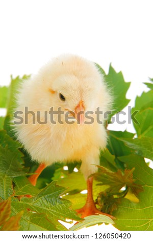 Cute little baby chicken on green leaves against white background ...