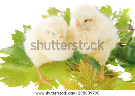 Cute little baby chicken on green leaves against white background - stock photo