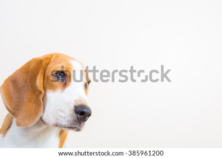 Cute little beagle dog portrait - close up - stock photo