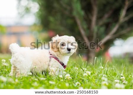 Cute little bichon posing in grass - stock photo