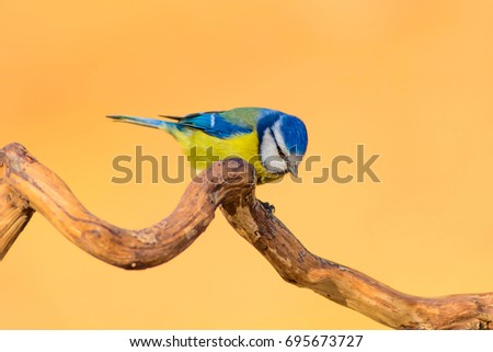 Cute little bird on dry branch. Yellow nature background.