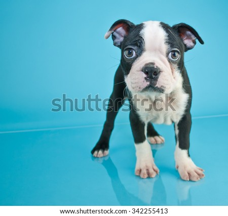 Cute little black and white Boston Terrier puppy standing on a blue background with copy space.