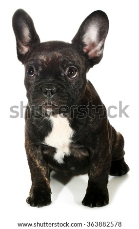 Cute little black French bulldog puppy - stock photo