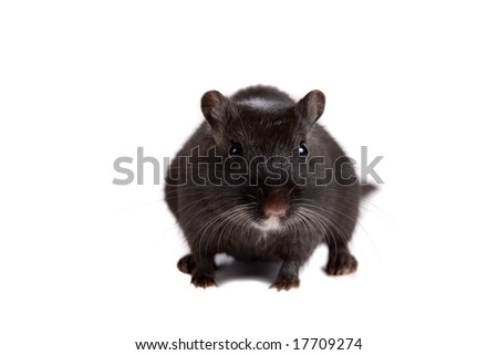 Cute little black gerbil on white background