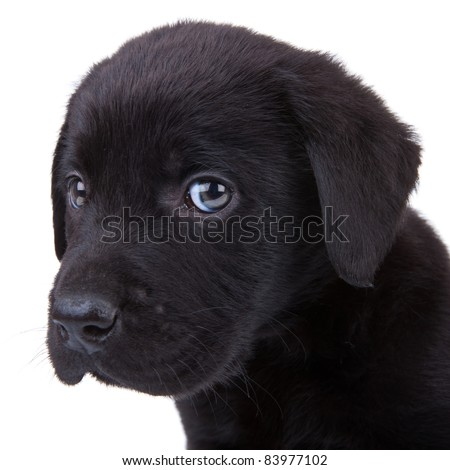 cute little black labrador retriever puppy looking at the camera. closeup picture on its head - stock photo