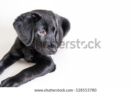 Cute little black labrador retriever puppy on a white background
