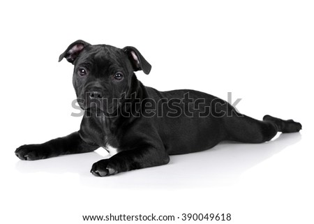 Cute little black puppy on a white background, English Staffordshire Bull Terrier