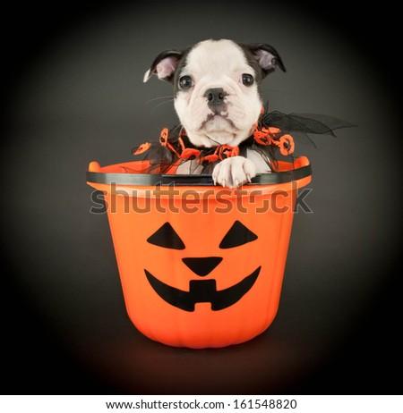 Cute little Boston Terrier puppy sitting in a Halloween bucket on a black background. - stock photo