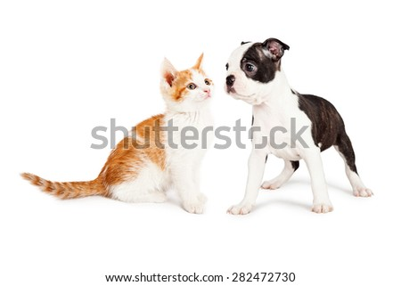 Cute little Boston Terrier puppy standing to the side looking at an adorable orange and white kitten. - stock photo