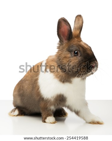 Cute little brown bunny sitting isolated on white background