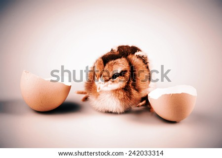 Cute little brown chicken coming out of a white egg isolated on white - easter concept - stock photo