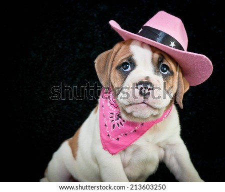 Cute little Bulldog puppy dressed up like a cowgirl with copy space on a black background.