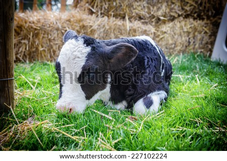 Cute little calf laying in grass  - stock photo