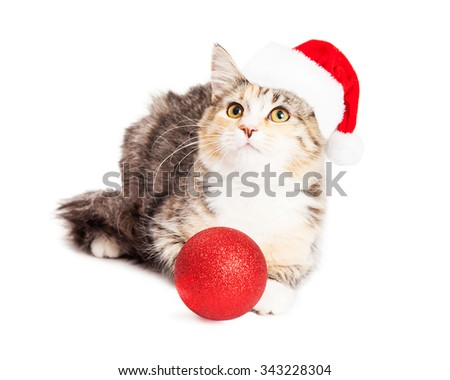 Cute little Calico breed kitten wearing a Christmas Santa Claus hat with a red tree ornament, looking up